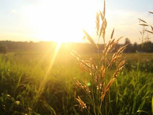 wheat sunshine