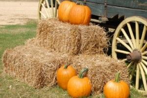 Pumpkins and Corn Maze