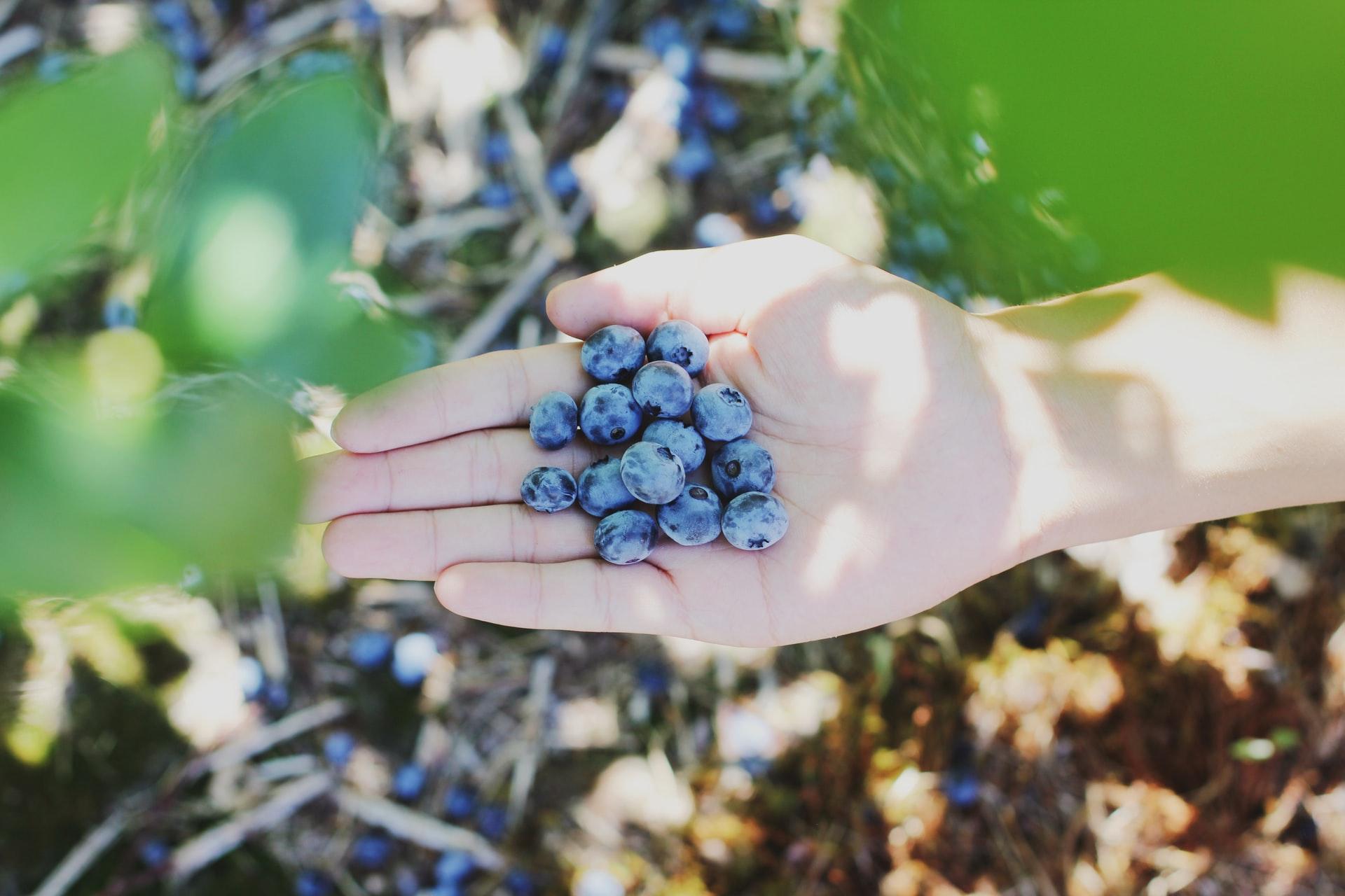 Atlanta Area Pick-Your-Own Blueberry Farms
