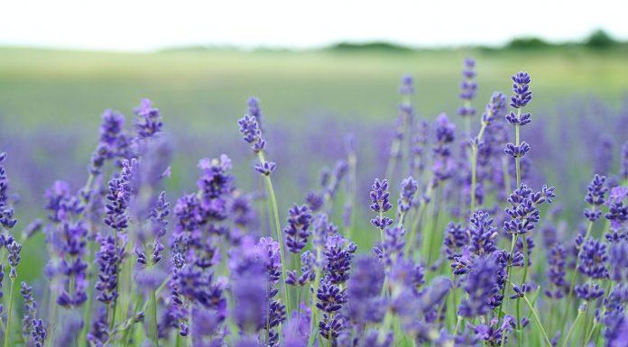 Lavender Farms in Driving Distance of Atlanta