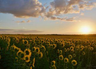 Sunflower Fields in Driving Distance of Atlanta